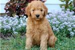 Poodle, Miniature for sale