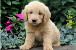 Picture of Buttercup - Goldendoodle Female