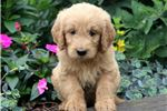 Picture of Bentley - Goldendoodle Male
