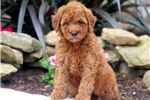 Picture of Rachelle - F1b Mini Goldendoodle Female