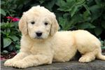 Picture of Buzz - Goldendoodle Male