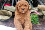 Picture of Rocky - F1b Mini Goldendoodle Male