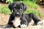 Picture of Paco - Great Dane Male