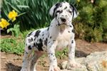 Picture of Patch - Great Dane Male