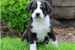 Picture of Drake - Greater Swiss Mountain Dog Male