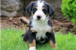 Picture of Dove - Greater Swiss Mountain Dog Female