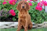 Tucker - Irish Setter Male | Puppy at 19 weeks of age for sale