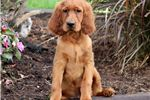 Picture of Spike - Irish Setter Male