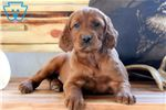 Irish Setters for sale