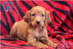 Binki - Irish Setter Female | Puppy at 10 weeks of age for sale