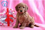 Picture of Foxy - Irishdoodle Female