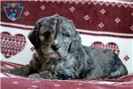 Picture of Lilo - Irishdoodle Male
