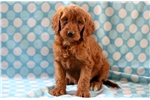 Picture of Timmy - Irishdoodle Male