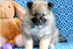 Picture of Troy - Keeshond Male