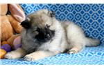 Picture of Orin - Keeshond Male