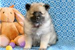 Picture of Morris - Keeshond Male