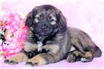 Picture of Paige - Keeshond Mix Female