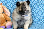 Picture of Derek - Keeshond Male