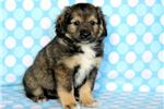 Picture of Priest - Keeshond Mix Male