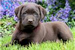 Picture of a Labrador Retriever Puppy