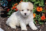 Malti Poo - Maltipoo Puppies for Sale from Pennsylvania Breeders