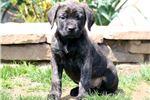 Picture of Tootsie - English Mastiff Female
