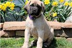 Picture of Jax - English Mastiff Male