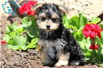 Picture of Bubbles - Morkie Female