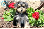 Picture of Breeze - Morkie Female