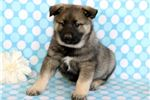 Picture of Billy - Norwegian Elkhound Male