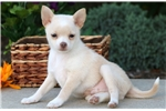 Picture of Candy - Pomchi Female