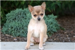 Picture of Coffee - Pomchi Female