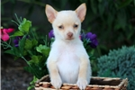 Picture of Carmel - Pomchi Male
