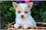 Picture of Cappuccino - Pomchi Female