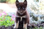Picture of Cassie - Pomsky Female