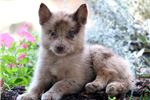 Picture of Charity - Pomsky Female