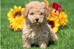 Picture of Muggs - Mini Poodle Male
