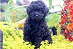 Picture of Angelina - Mini Poodle Female