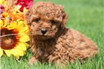 Picture of Mittens - Mini Poodle Female