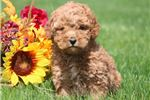 Picture of Milly Moo - Mini Poodle Female