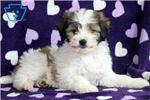 Poodle, Miniature for sale