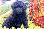 Picture of Astro - Mini Poodle Male