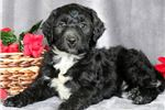 Picture of Paris - Portuguese Water Dog Mix Female