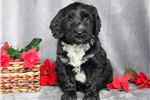 Picture of Paws - Portuguese Water Dog Mix Male