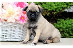 Picture of a Pug Puppy