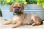 Picture of Vivian - Puggle Female