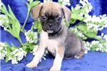 Picture of Turbo - Puggle male