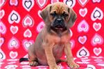 Picture of Davie - Puggle Male