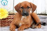 Redbone Coonhound for sale