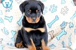 Picture of Simba - Rottweiler Male